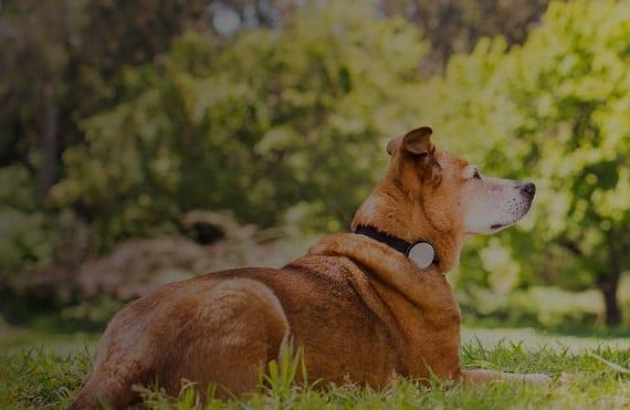 Whistle perro