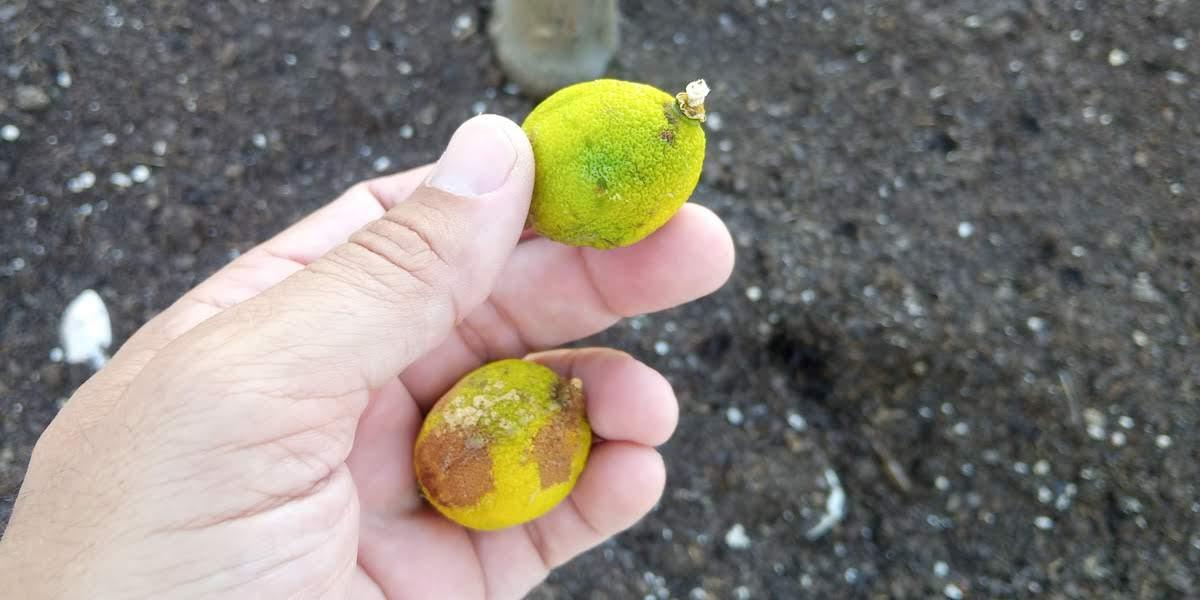foto mano y limones